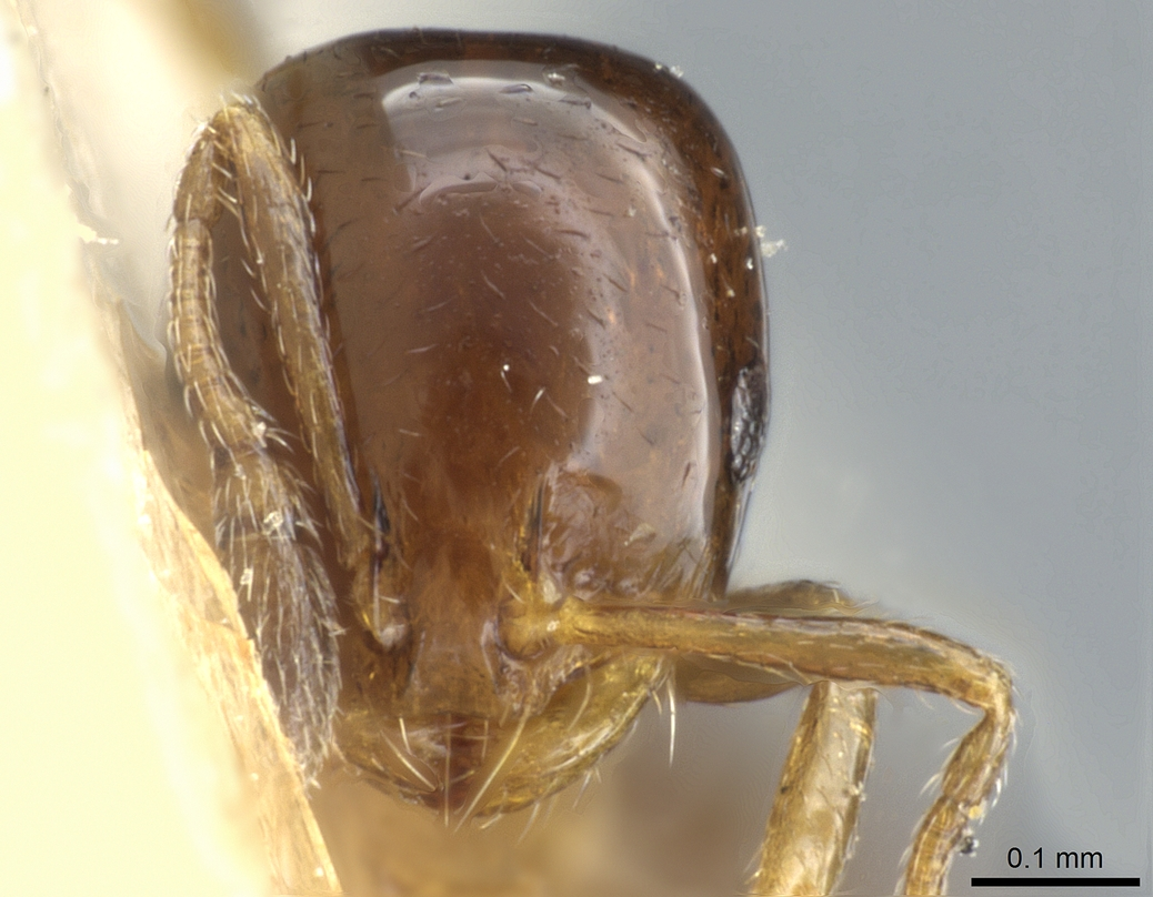 Monomorium sydneyense image
