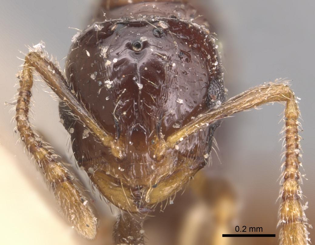 Image of Monomorium rhopalocerum