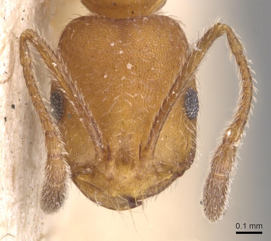 Image of Monomorium nitidiventre