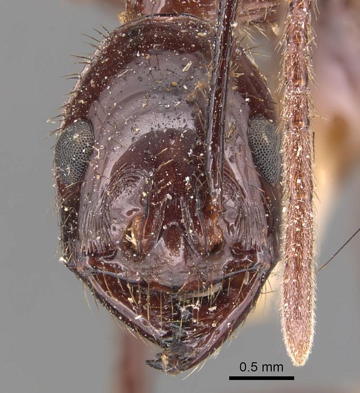 Image of Megalomyrmex staudingeri