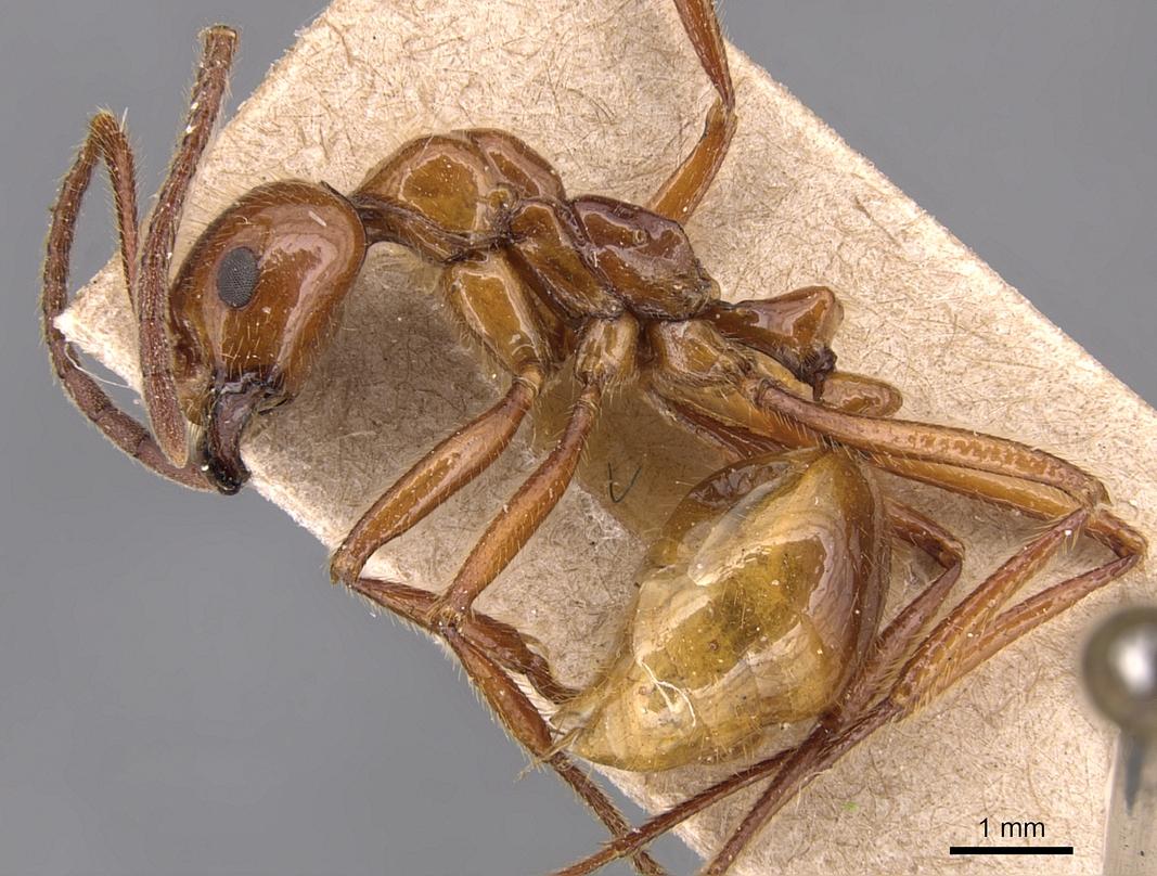 Image of Megalomyrmex balzani