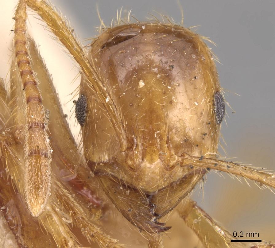 Image of Megalomyrmex modestus