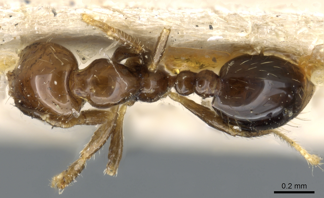 Image of Solenopsis picea