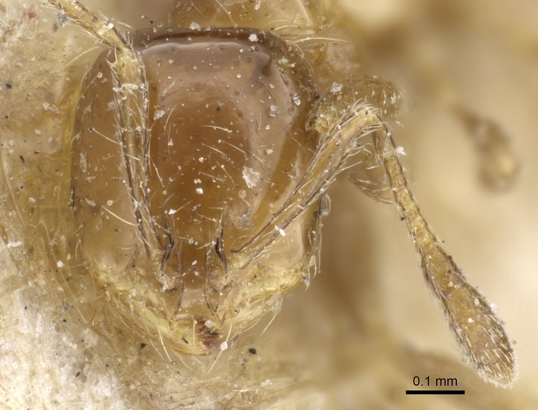 Image of Solenopsis latastei
