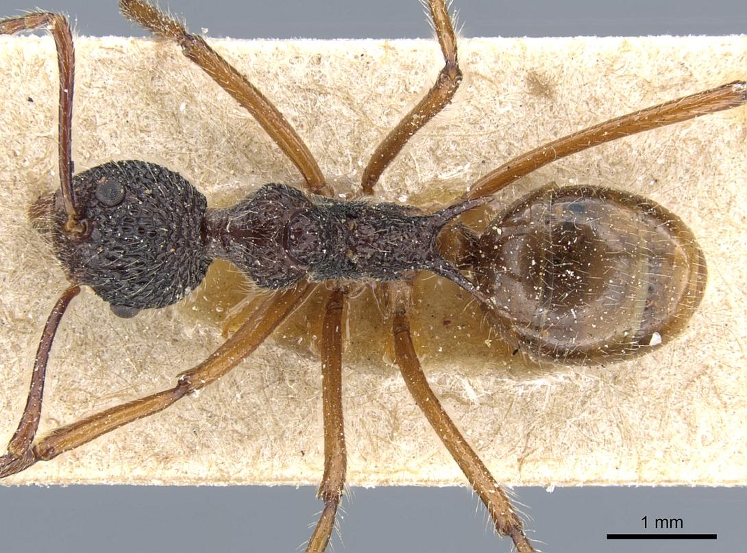 Image of Dolichoderus beccarii