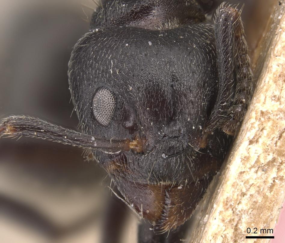 Image of Dolichoderus carbonarius