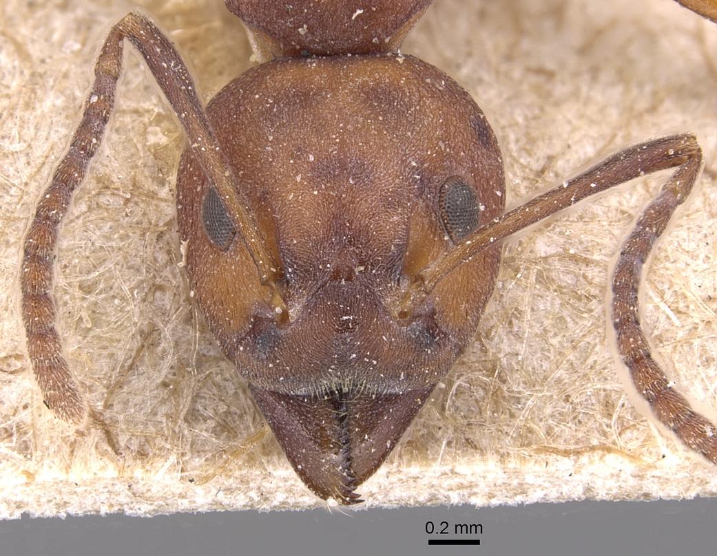 Image of Dolichoderus modiglianii