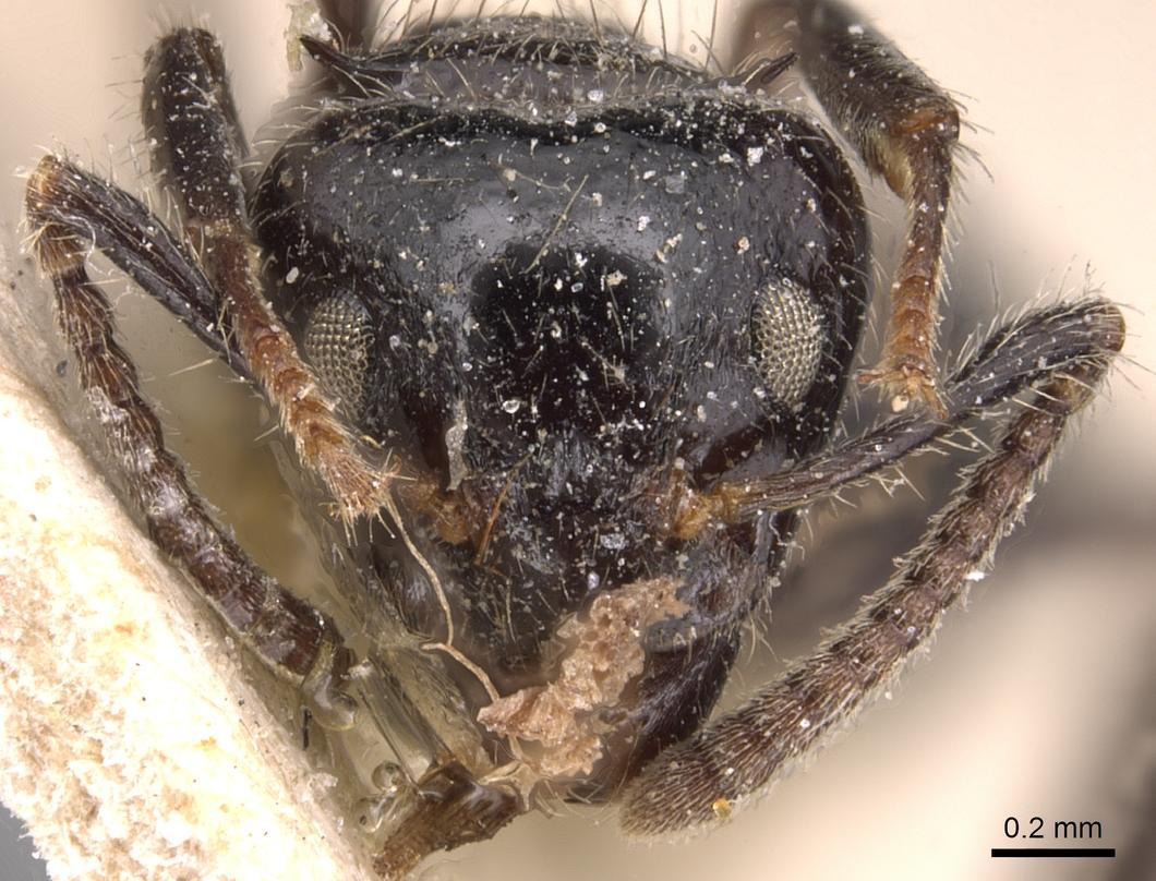 Image of Dolichoderus gagates