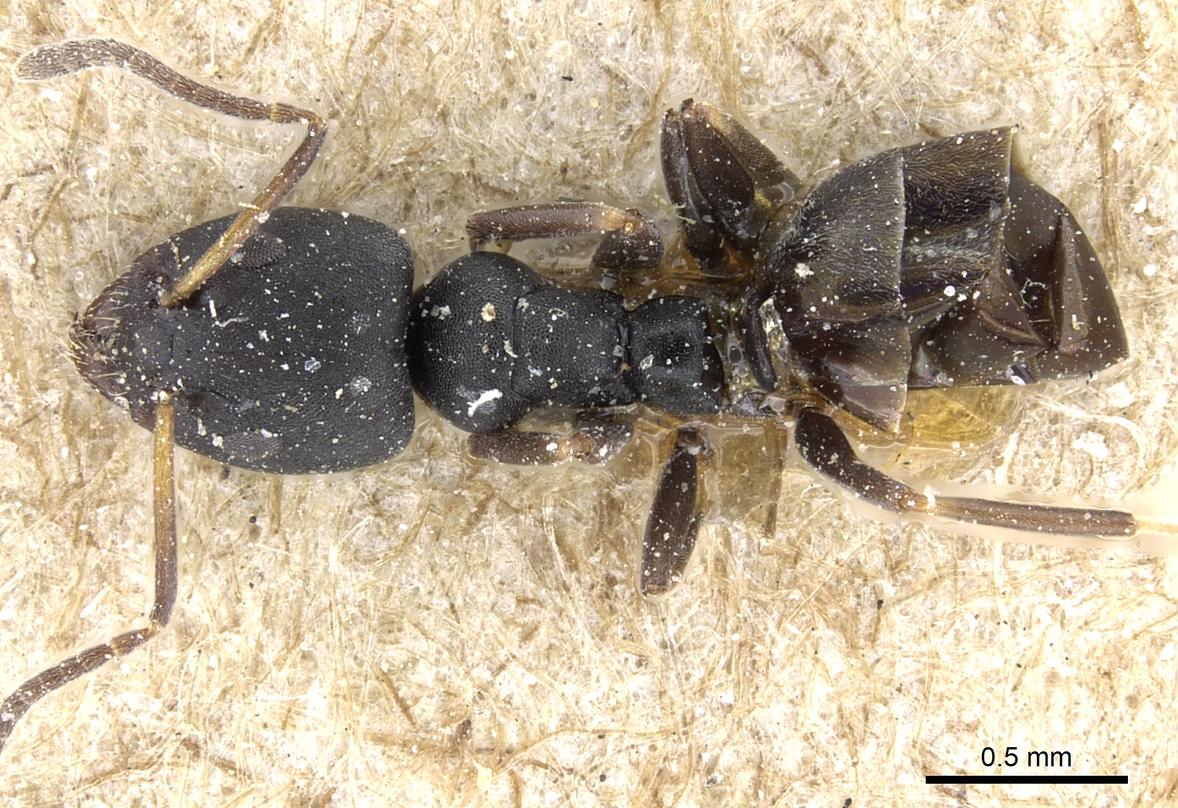 Image of Ochetellus punctatissimus