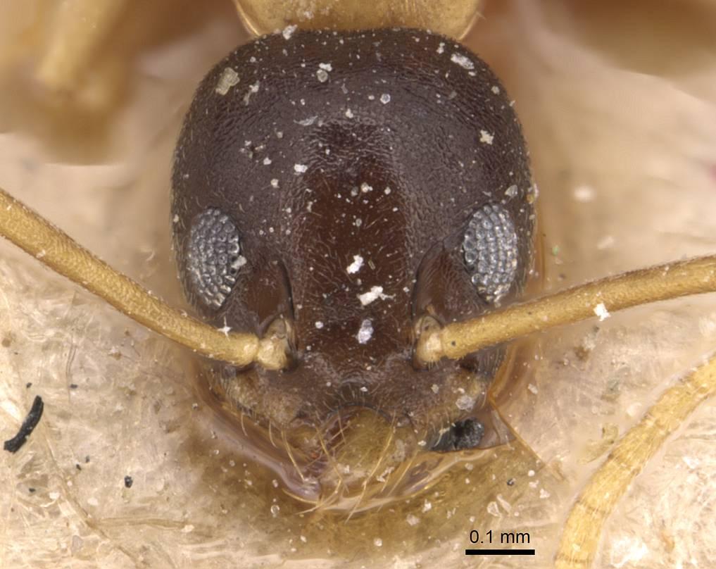 Image of Technomyrmex bicolor