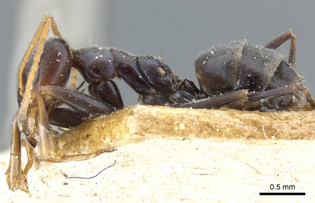 Image of Forelius grandis
