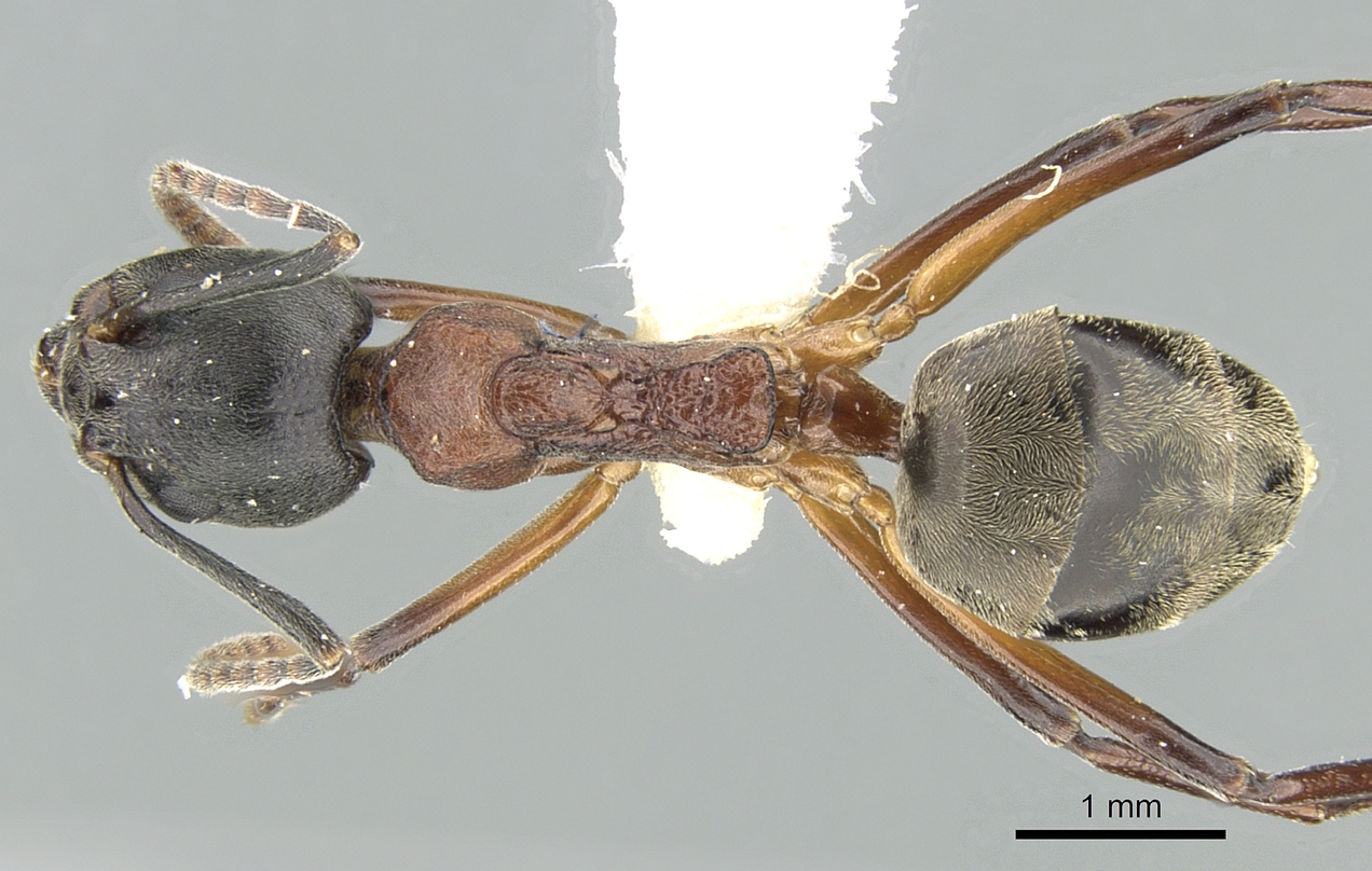 Image of Dolichoderus feae