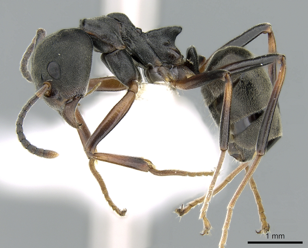 Image of Dolichoderus laotius