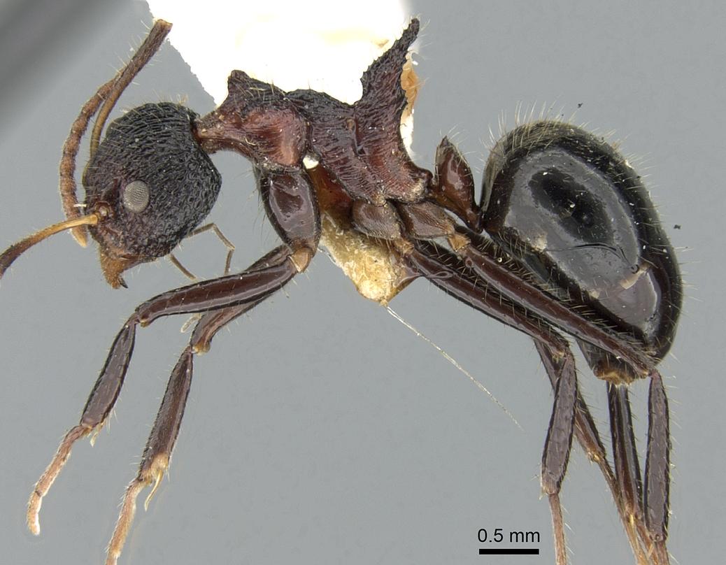Image of Dolichoderus tricornis