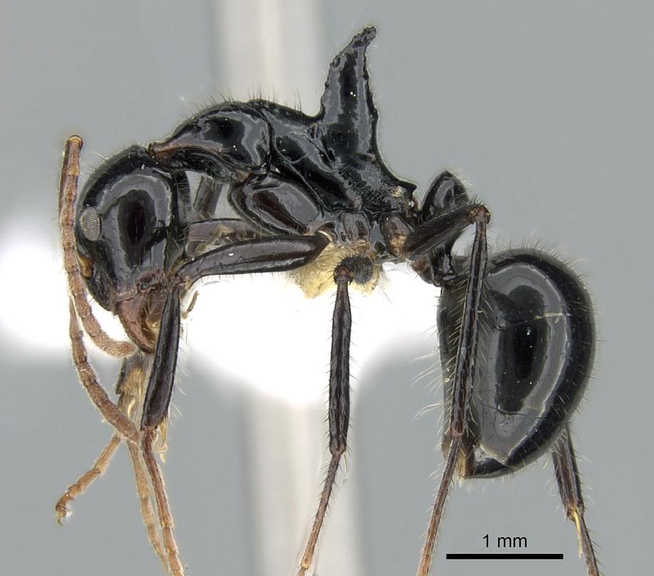 Image of Dolichoderus monoceros