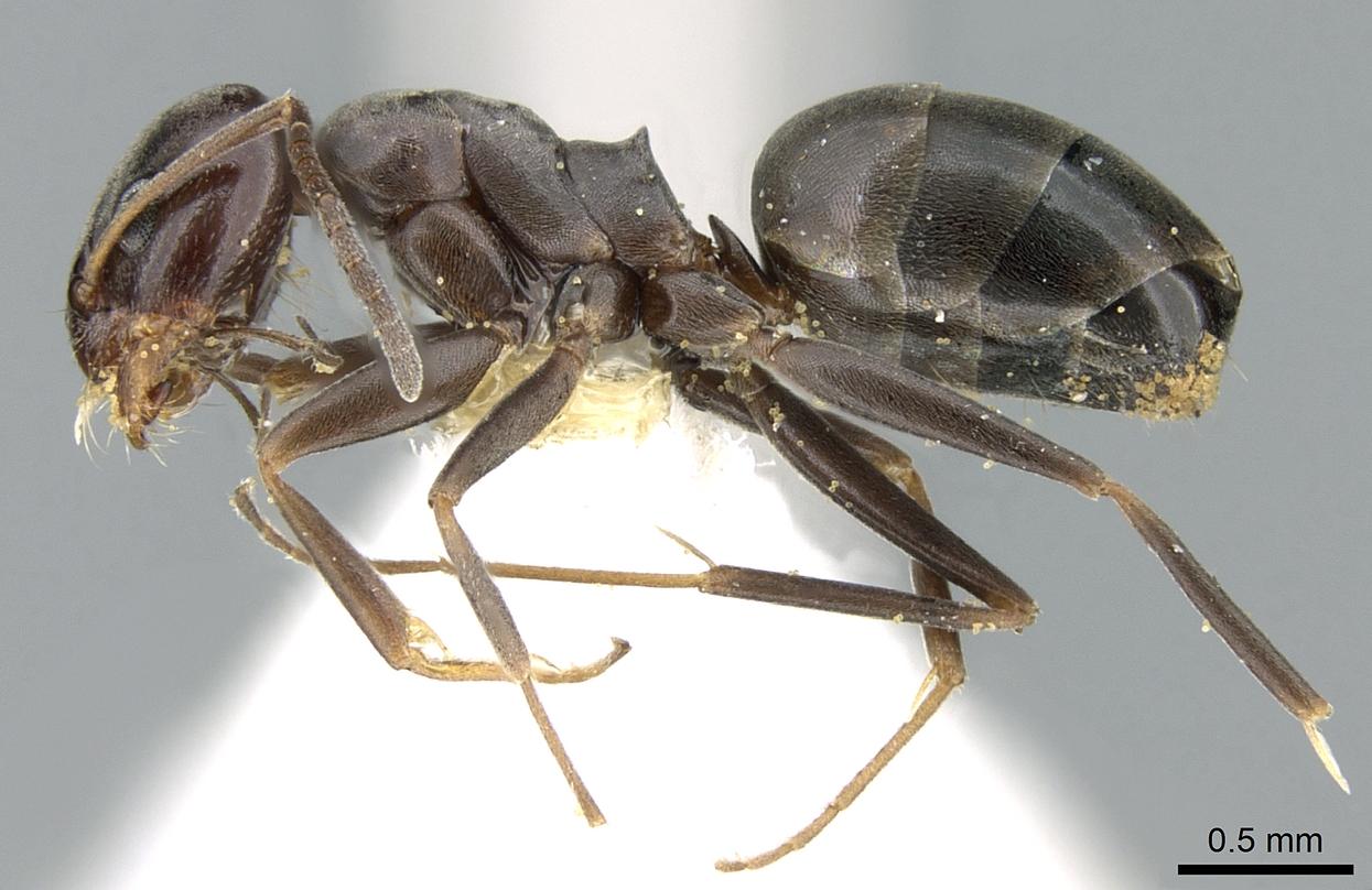 Image of Dorymyrmex wolffhuegeli