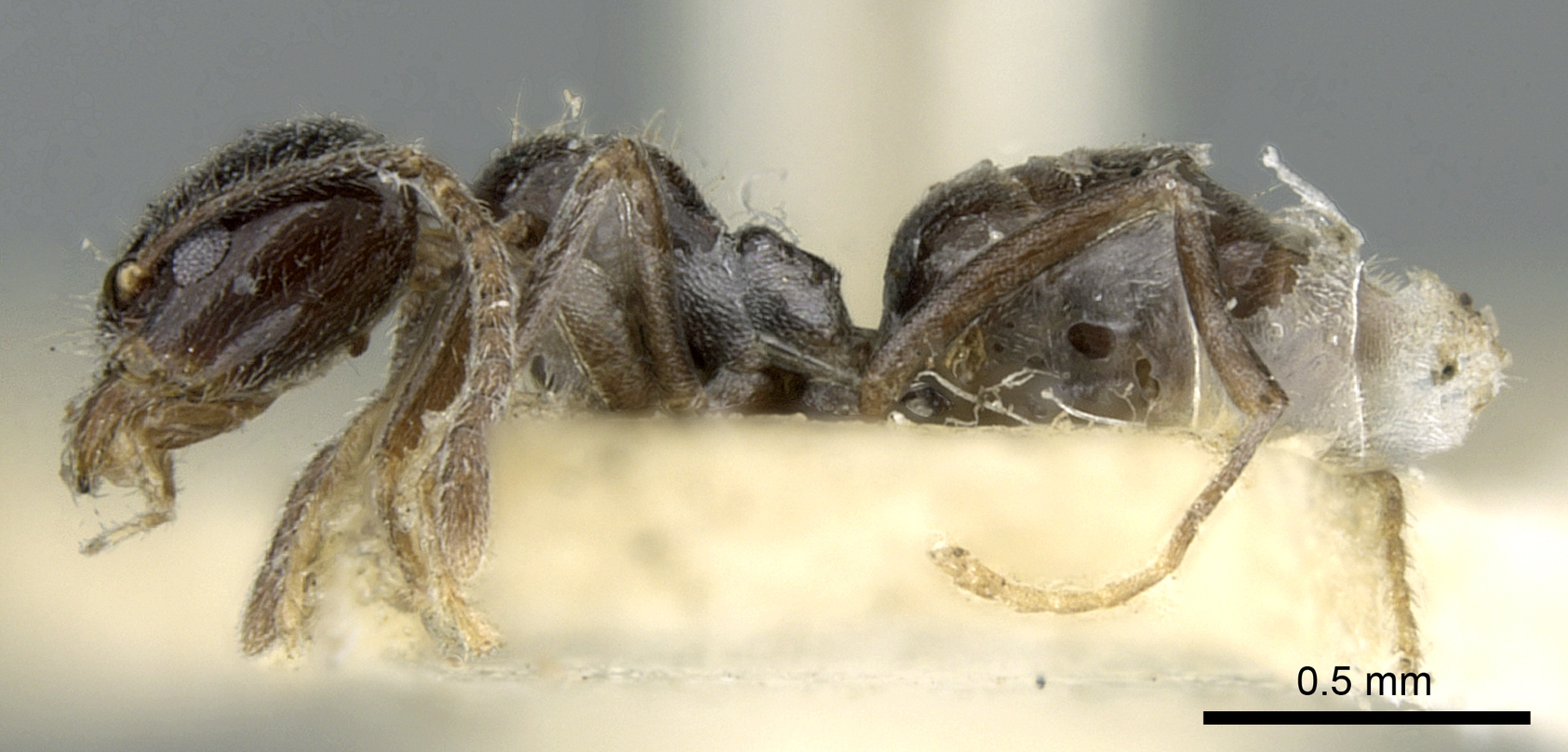 Image of Anonychomyrma fornicata