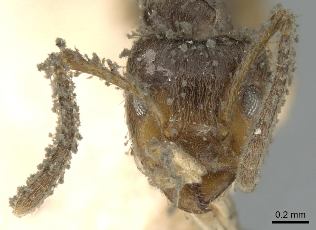 Image of Azteca paraensis