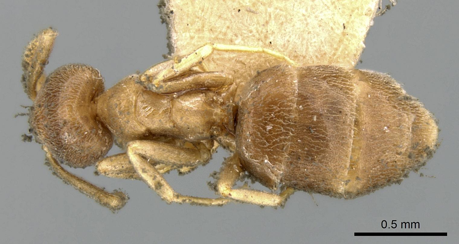Image of Bothriomyrmex meridionalis