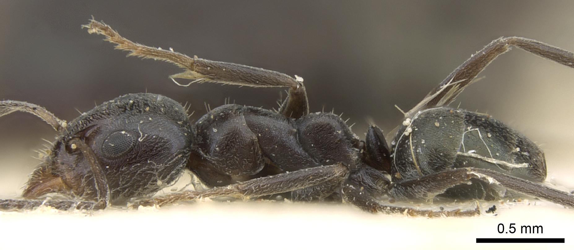 Image of Iridomyrmex mattiroloi