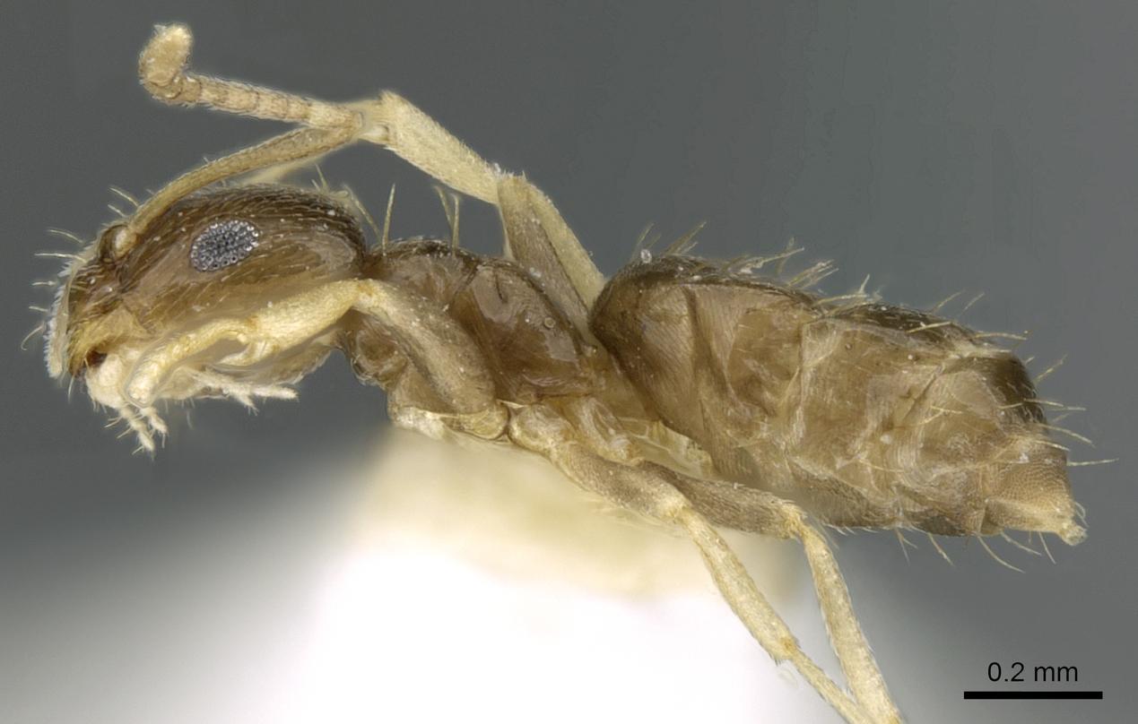 Image of Brachymyrmex musculus