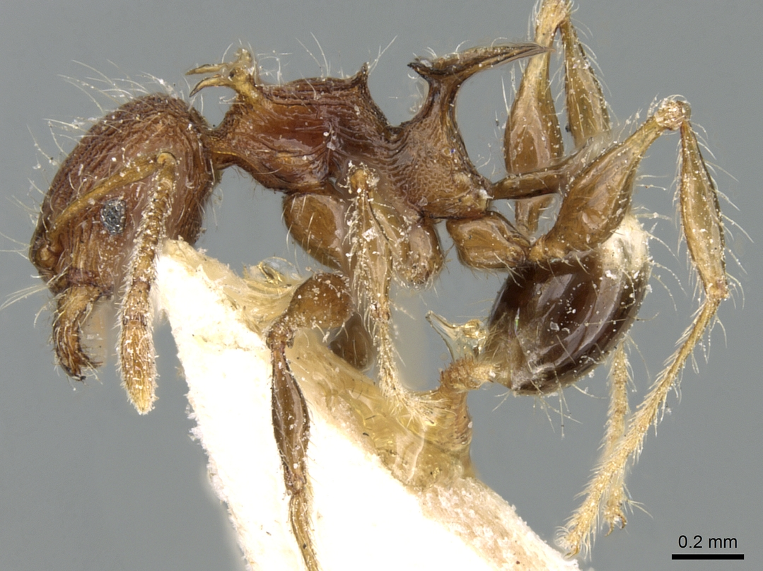 Image of Pheidole cervicornis