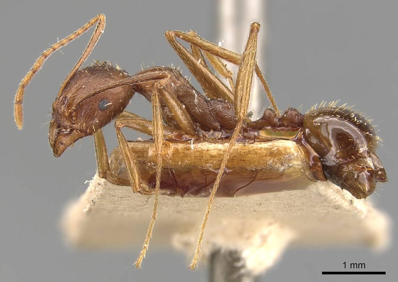 Image of Aphaenogaster muelleriana