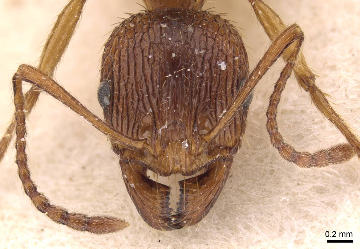 Aphaenogaster subcostata image