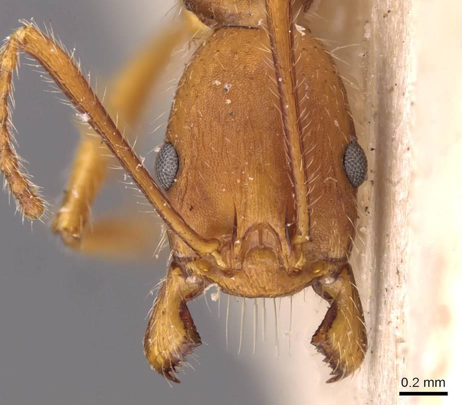 Image of Aphaenogaster ujhelyii