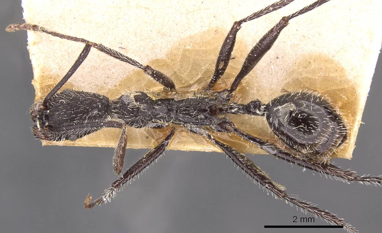 Image of Aphaenogaster rupestris