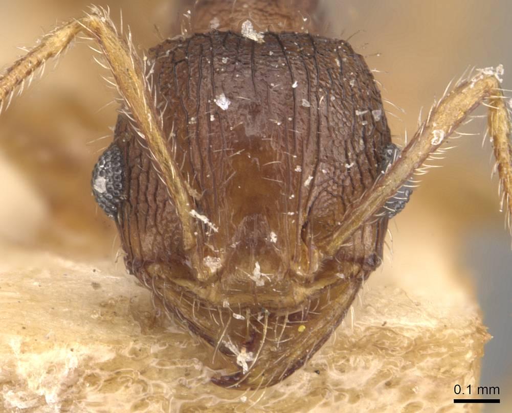Image of Pheidole mjobergi