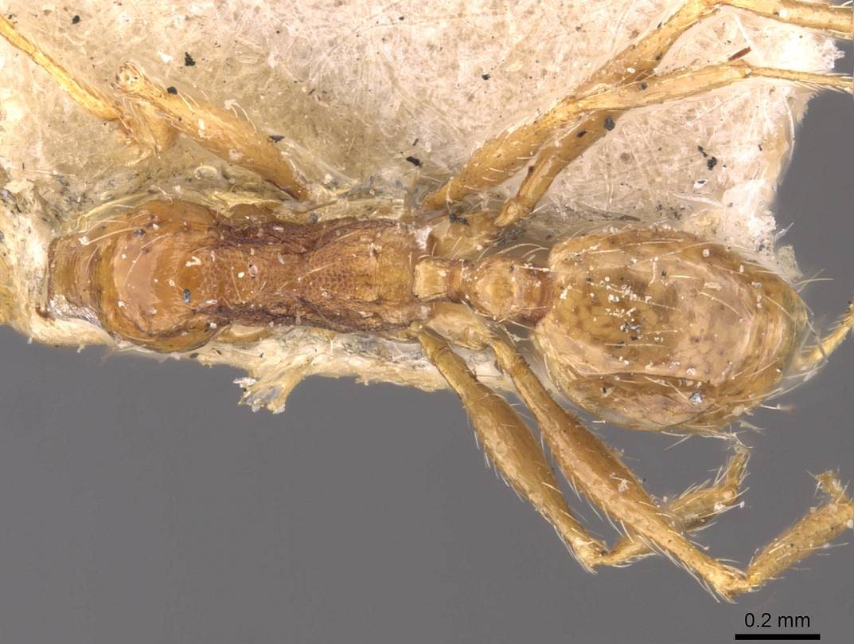 Image of Pheidole cuitensis