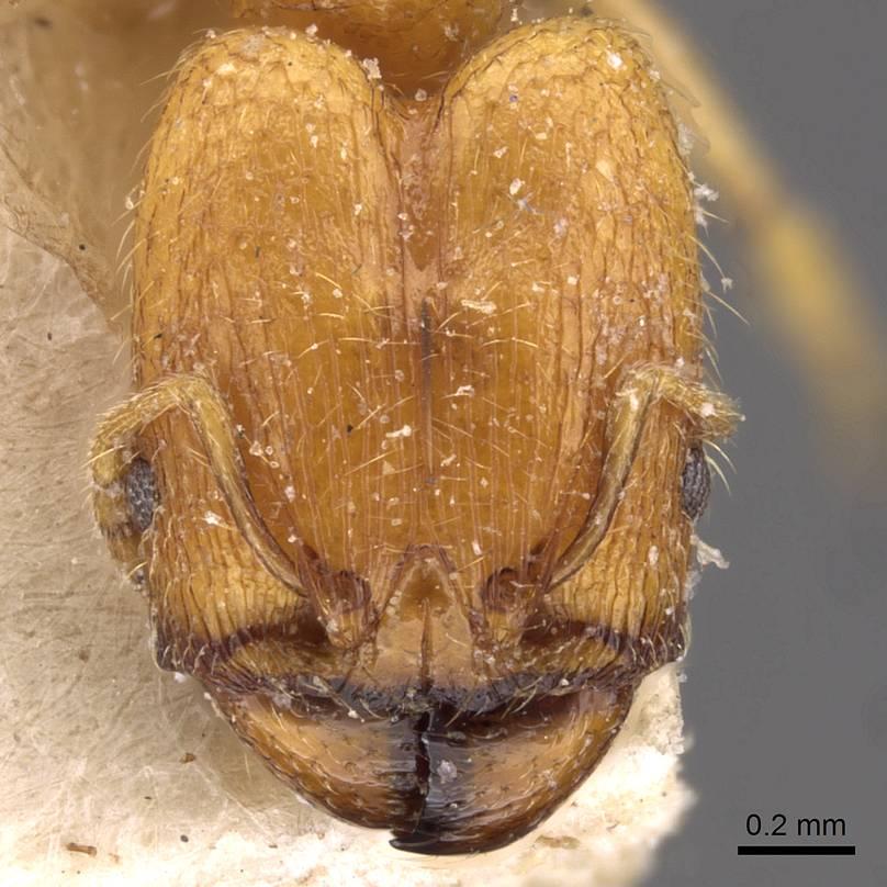 Image of Pheidole schoutedeni