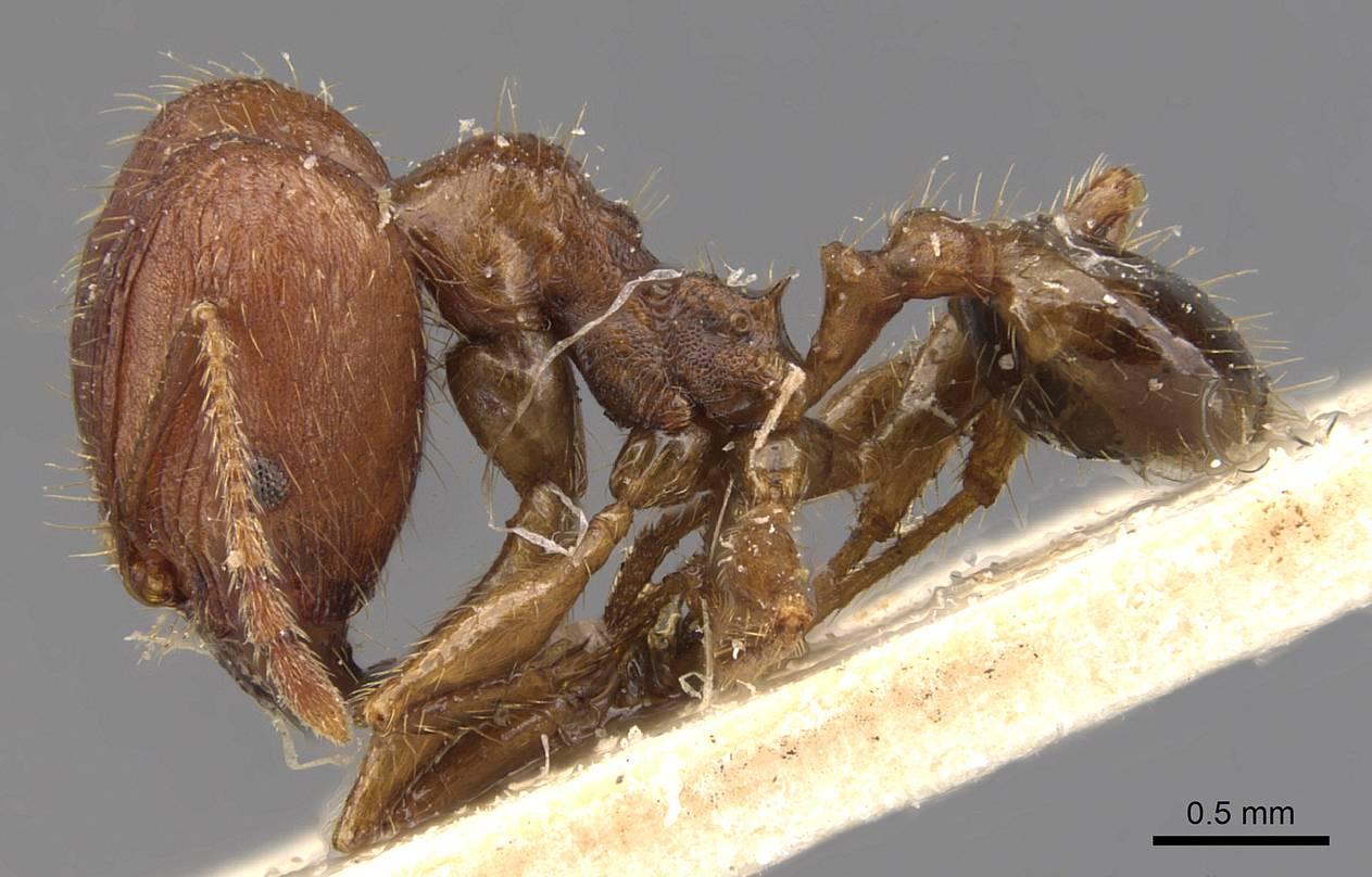 Image of Pheidole ernsti
