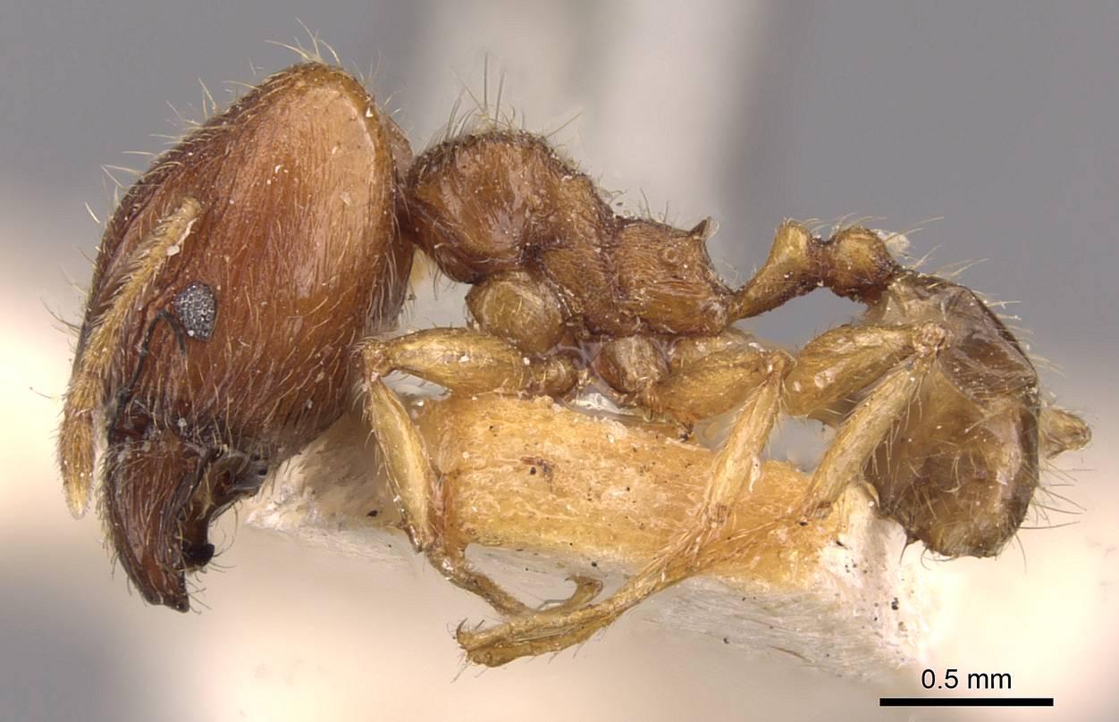 Image of Pheidole rogersi