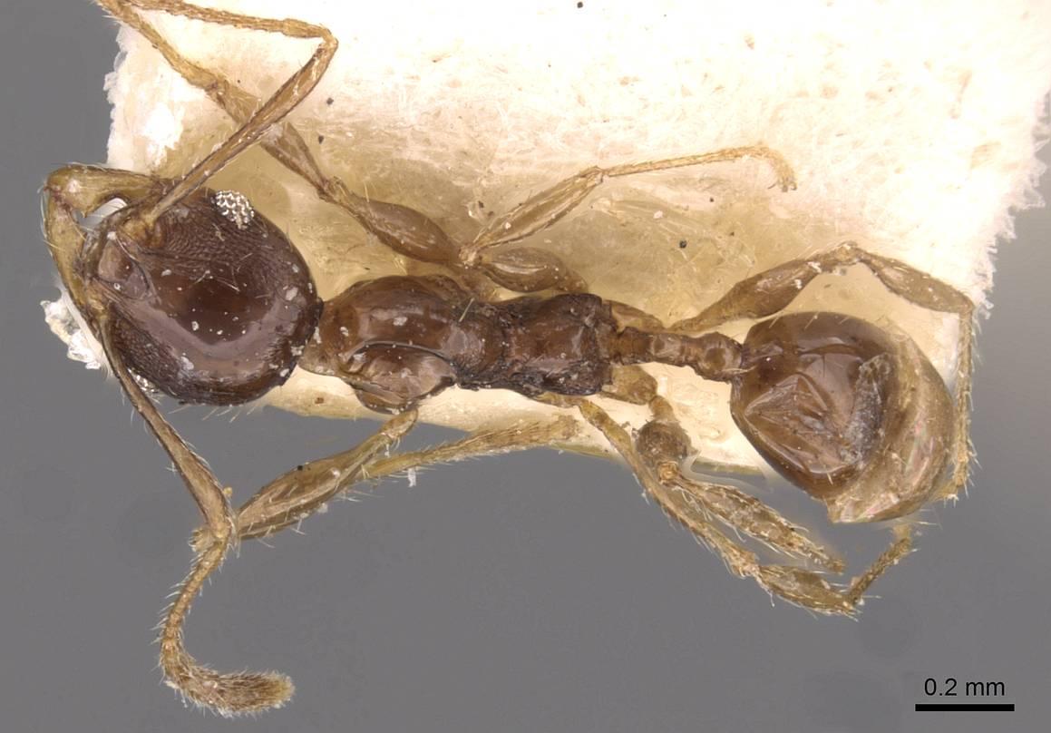Image of Pheidole athertonensis
