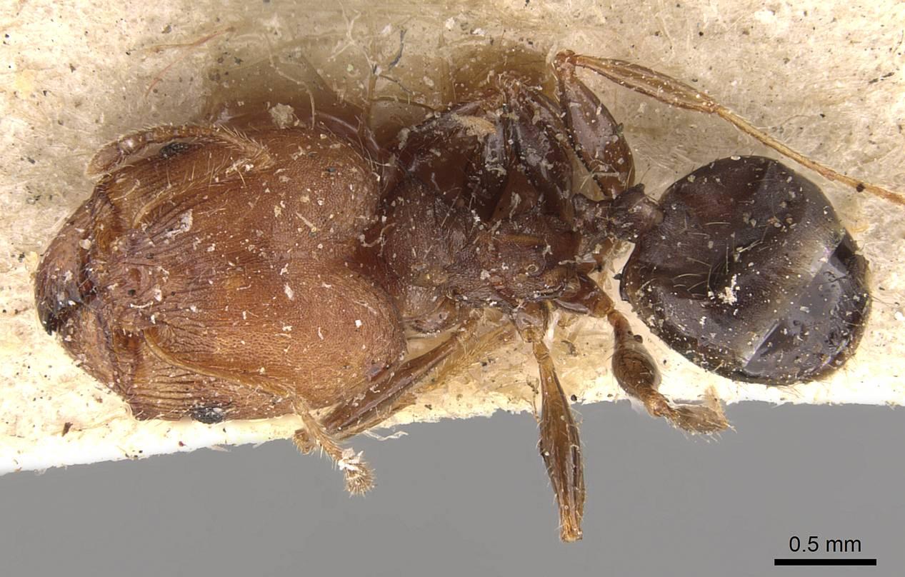Image of Pheidole opaciventris