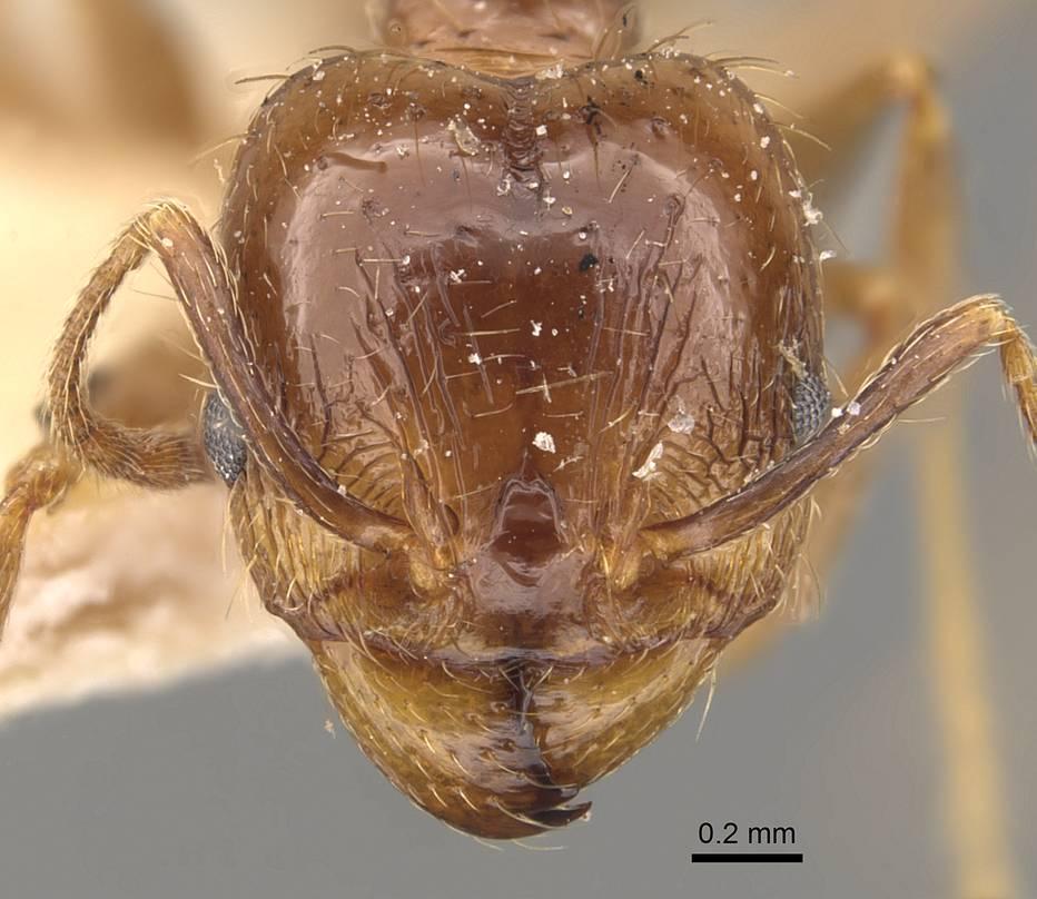 Image of Pheidole rufipilis