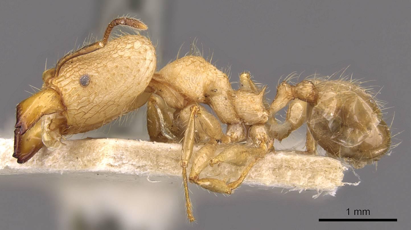 Image of Pheidole lutzi