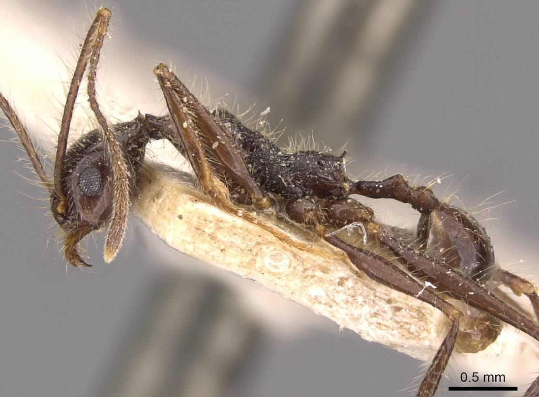 Image of Pheidole jujuyensis