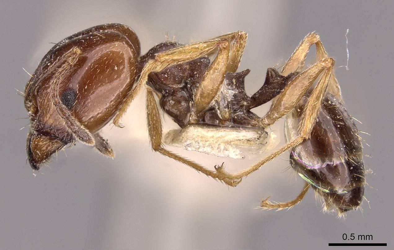 Image of Pheidole semilaevis