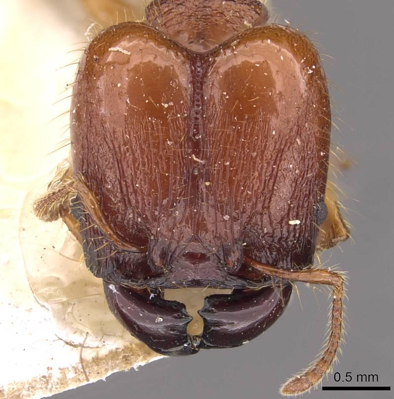 Image of Pheidole gauthieri