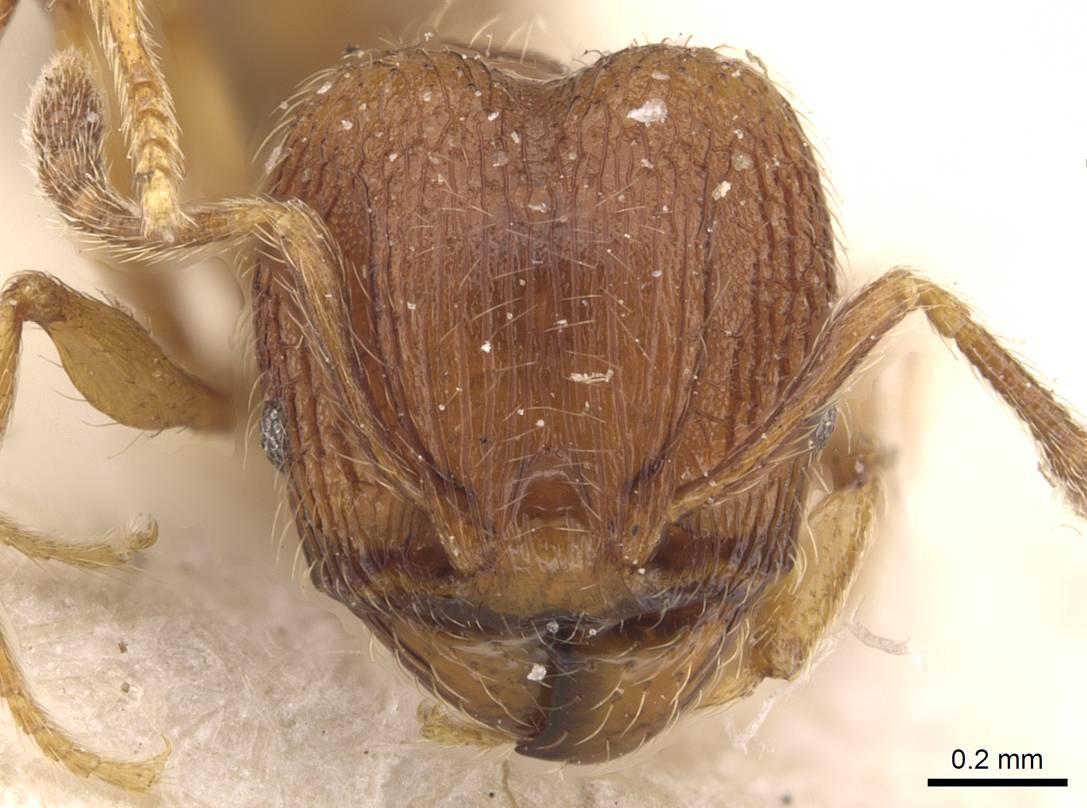 Image of Pheidole termitobia