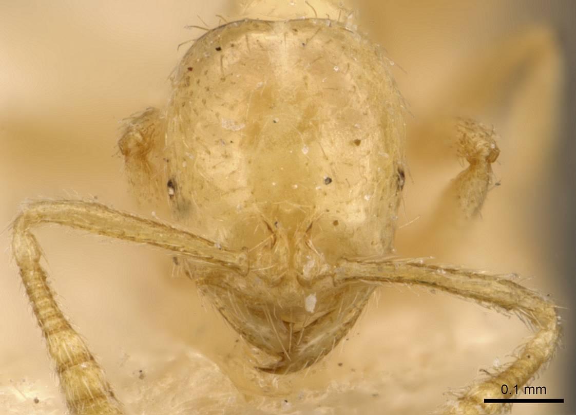 Image of Monomorium butteli