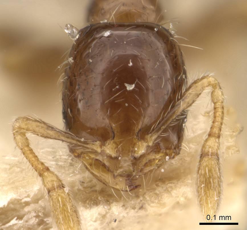 Image of Monomorium taprobanae