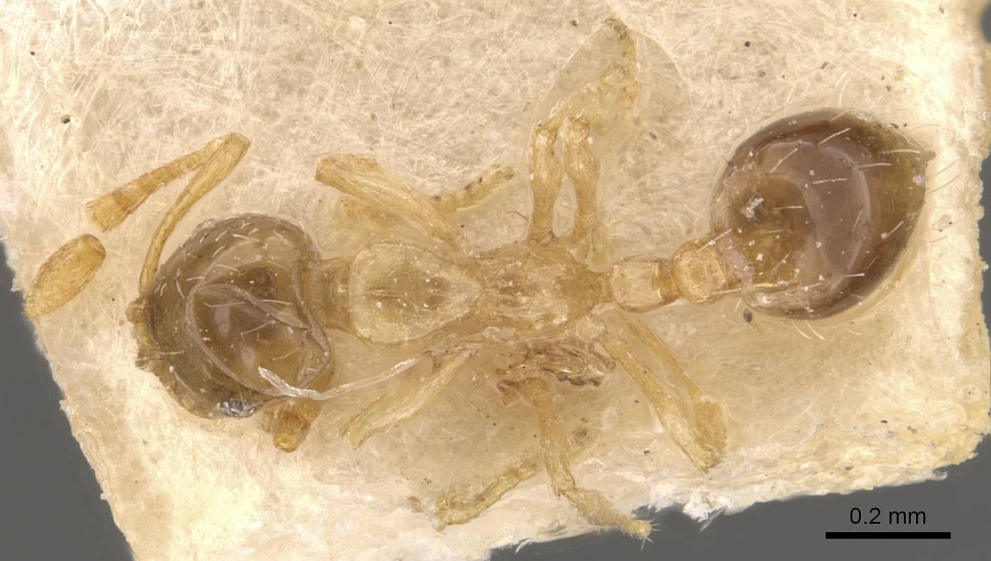 Image of Monomorium gabrielense