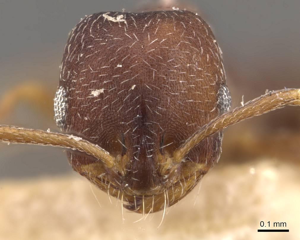 Image of Monomorium setuliferum