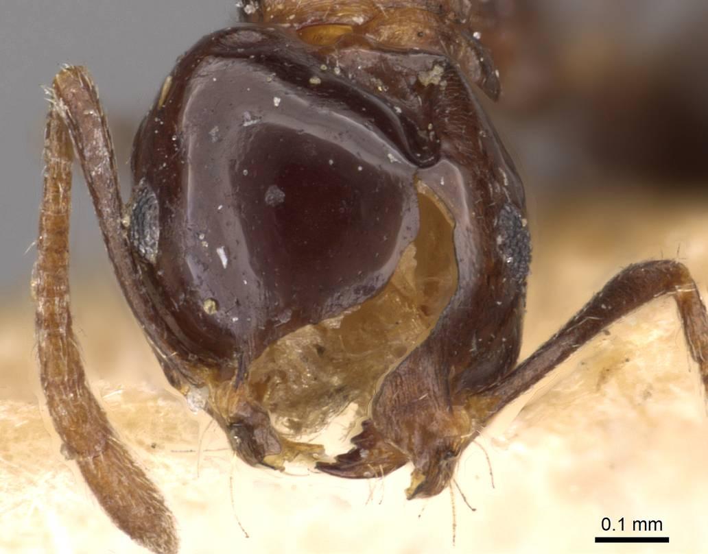 Image of Monomorium medinae