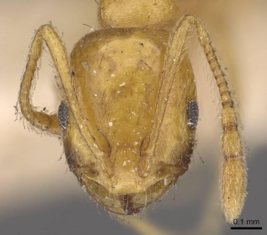 Image of Monomorium sagei