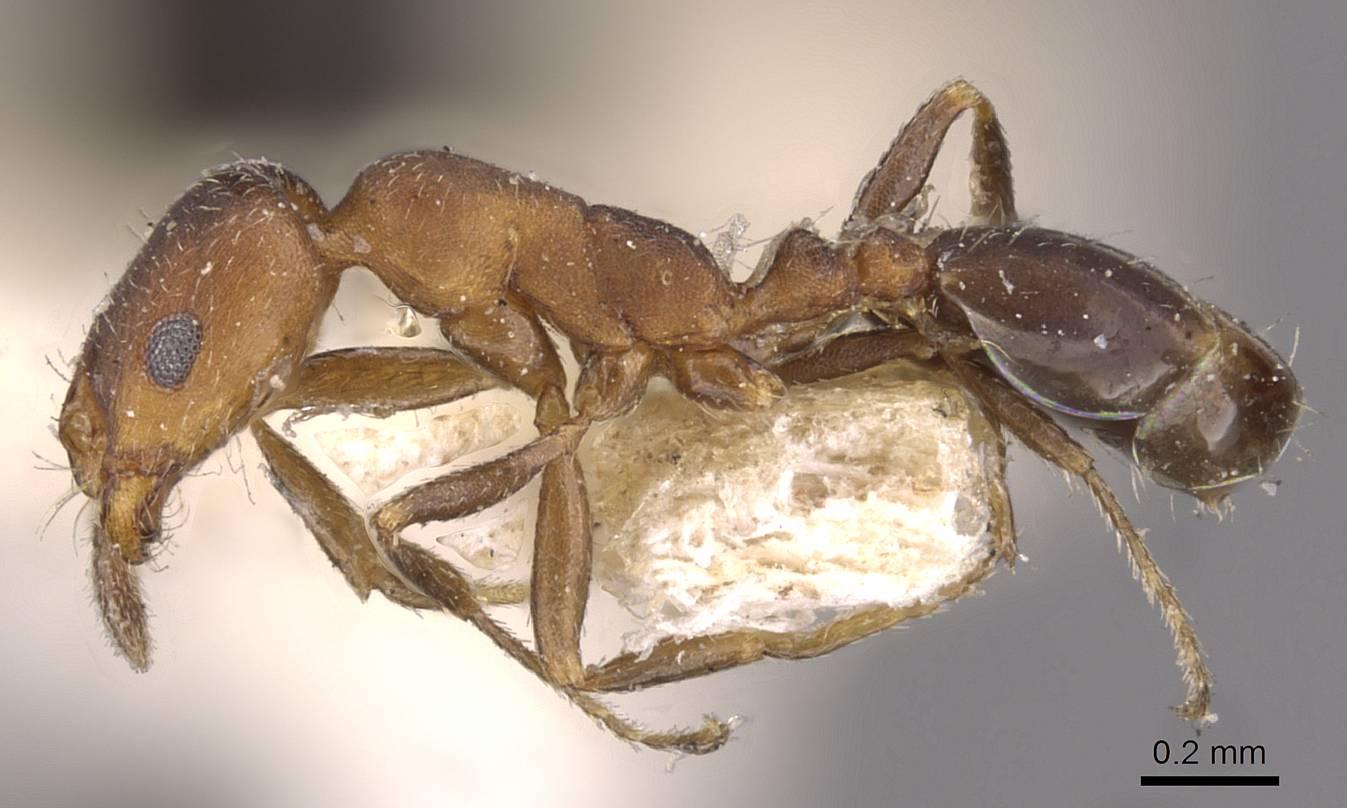 Image of Monomorium parvinode
